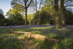 Stunning vibrant landscape image of blubell woods in English cou Royalty Free Stock Photography