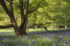 Stunning vibrant landscape image of blubell woods in English cou Stock Photos