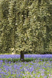 Stunning vibrant landscape image of blubell woods in English cou Stock Image