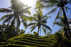 Stunning view of beautiful Bali island tropical landscape with palm trees jungle and rice field terrace under a sunrise blue sky i royalty free stock photos