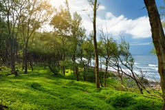 Stunning view of dense pine forest of Pololu Valley on Big Island of Hawaii. USA Royalty Free Stock Photo
