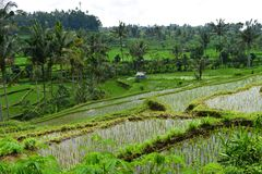 Stunning view on green rice terraces in Bali Stock Photos