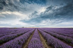 Lavender field before storm stock image