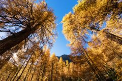 Stunning view of the Palpuogna lake near Albula pass with golden trees in autumn Royalty Free Stock Image