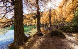 Stunning view of the Palpuogna lake near Albula pass with golden trees in autumn Stock Photography