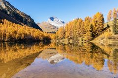 Stunning view of the Palpuogna lake near Albula pass with golden trees in autumn Stock Photos