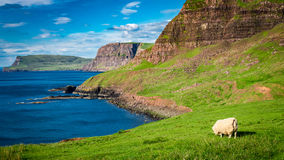 Stunning view to sheeps on the coast, Scotland, UK. Europe Stock Images