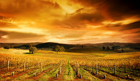 Stunning Vineyard. A stunning sunset over an autumn vineyard in South Australia Royalty Free Stock Image