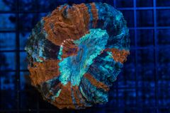 Stunning war paint scolymia coral. A close up of a brilliant blue and red scolymia coral Stock Photography