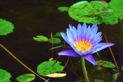 A stunning water lily. A purple water lily is completely blooming among the green leaves grown in a lake Stock Photography