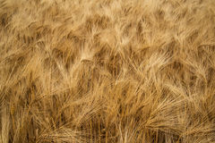Stunning wheat field landscape in Summer evening light Stock Photos