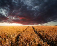 Stunning wheatfield landscape Summer sunset under moody stormy d Royalty Free Stock Photo