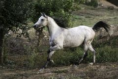Portrait of a beautiful Arabian stallion horse trotting. Stunning white Arabian stallion horse running in a field in an autumn evening stock photography