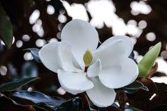 Stunning white magnolia flower in full bloom stock photos