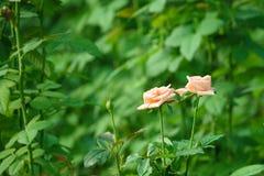 Stunning White Orange Rose Flower. Green Nature Background stock photos