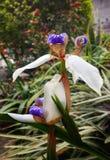 Neomarica flower, walking iris, apostle's plan with interesting white petals. Neomarica walking iris, apostle's plant living in tropical Colombia stock images