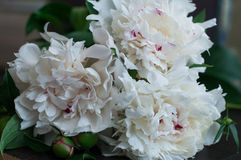Stunning white peonies on rustic wooden background Stock Photography