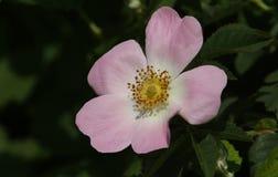 A stunning wild Dog-rose flower Rosa canina. Stock Photos