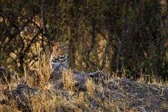 Stunning wild leopard in Botwana`s bush veld Stock Photography