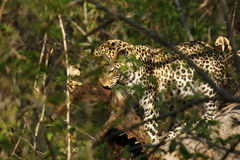 Stunning wild leopard eating a kill in Botwana`s bush veld Royalty Free Stock Image