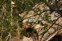 Stunning wild leopard eating a kill in Botwana`s bush veld Royalty Free Stock Photography