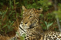 Stunning wild leopard in Moremi Game Reserve