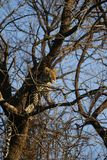 Stunning wild leopard sunning himself in Moremi Game Reserve royalty free stock photos