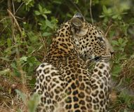 Stunning wild leopard sunning himself in Moremi Game Reserve stock images