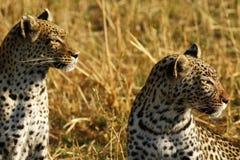 Stunning wild leopards in Botwana`s bush veld. Beautiful leopards in the savannah seen whilst on a luxury safari in Africa Stock Photography