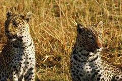 Stunning wild leopards in Botwana`s bush veld. Beautiful leopards in the savannah seen whilst on a luxury safari in Africa Royalty Free Stock Photo