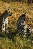 Stunning wild leopards in Botwana`s bush veld. Beautiful leopards in the savannah seen whilst on a luxury safari in Africa Royalty Free Stock Images
