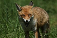 A magnificent wild Red Fox, Vulpes vulpes, hunting for food to eat in the long grass. stock images
