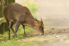 A stunning wild stag Muntjac Deer Muntiacus reevesi feeding at the side of the track. A wild stag Muntjac Deer Muntiacus reevesi feeding at the side of the Stock Image
