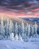 Stunning winter sunrise in Carpathian mountains with snow cowere. D fir trees. Colorful outdoor scene, Happy New Year celebration concept. Artistic style post Royalty Free Stock Image