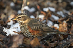 A stunning winter visiting Redwing Turdus iliacus searching under the snow and leaf litter for food. Royalty Free Stock Photography