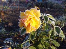 Stunning yellow English rose in cold and frosty autumn garden. Stunning yellow English rose still blooming in cold and frosty autumn garden stock photos