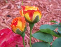 Stunning yellow and orange rose buds about to open. These changeable and vivid yellow and orange rose bud darken to a deep pink mature flower stock image