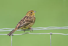 A stunning Yellowhammer Emberiza citrinella perched on a wire fence. Stock Photos