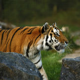 The stunningly beautiful Amur tiger close up Stock Images