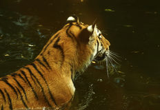 The stunningly beautiful Amur tiger swimming in water. The Amur tiger formerly known as the Siberian tiger is an endangered species, playing together chasing & Royalty Free Stock Images