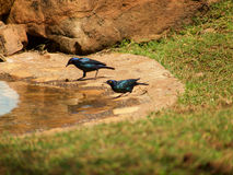 Stunningly beautiful Cape glossy starlings Royalty Free Stock Photo