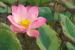 A stunningly beautiful close-up of a pink and yellow fully-bloomed lotus flower, in a lush Thai garden park. A stunningly beautiful close-up of a pink and Royalty Free Stock Image