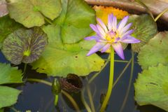 A stunningly beautiful close-up of a violet and yellow, fully-bloomed lotus flower, swarming with bees, in a ceramic water pot, in. A lush garden park in Stock Images