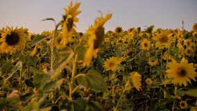Stunningly beautiful field of sunflowers in the evening sun. Close-up flower. stock video footage