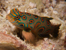 Stunningly beautiful  picturesque dragonet at dusk in Raja Ampat, Indonesia. Stock Photography