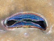 Stunningly colourful iridescent scallop. Vividly coloured ridescent scallop living in a collony of live hard coral. Alor Archipelago, Lesser Sunda Islands royalty free stock photo