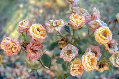 Solid background of blooming snow-covered roses. stock photography