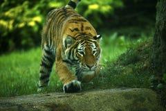 Stunningly het mooie Amur-tijgers spelen stock fotografie