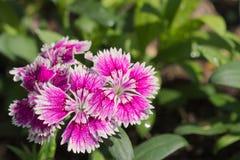 Stunningly mooie purpere en witte bloemen die in een Thais tuinpark groeien royalty-vrije stock fotografie