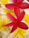 Stunnng Frangipani royalty free stock photography